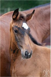 Photo cheval a vendre NAMIBIA DE LA GESSE